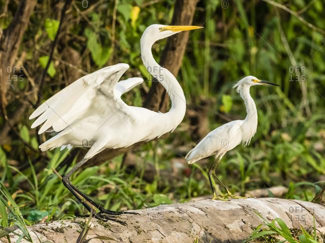 An adult great egret (Ardea alba) on left, and snowy egret (Egretta thula) on right, Rio El Dorado, Amazon Basin, Peru, South America