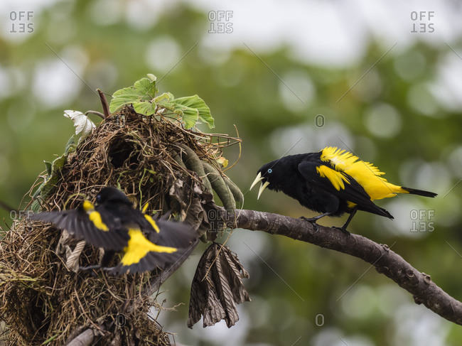 Adult yellow-rumped caciques (Cacicus cela), at nest site on Belluda Cano, Amazon Basin, Loreto, Peru, South America