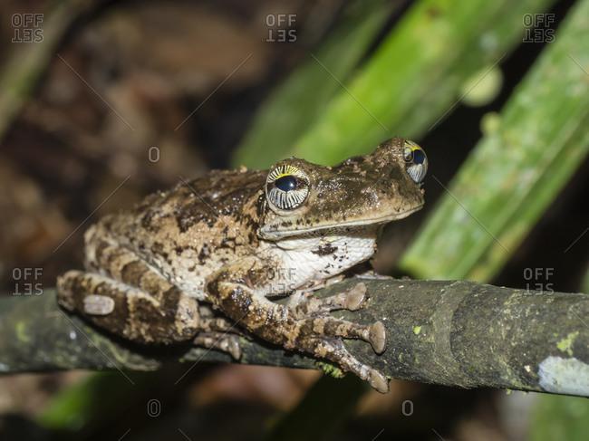 An adult Manaus slender-legged treefrog (Osteocephalus taurinos), Ucayali River, Pacaya Samiria Reserve, Loreto, Peru, South America