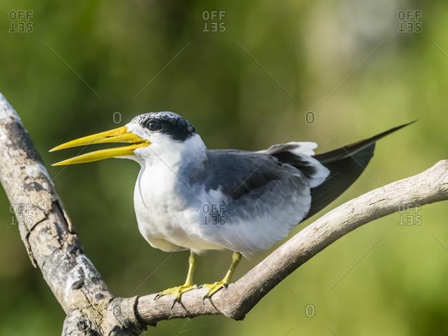 Large-billed tern (Phaethusa simplex) perched on the Rio Yanayacu, Amazon Basin, Loreto, Peru, South America