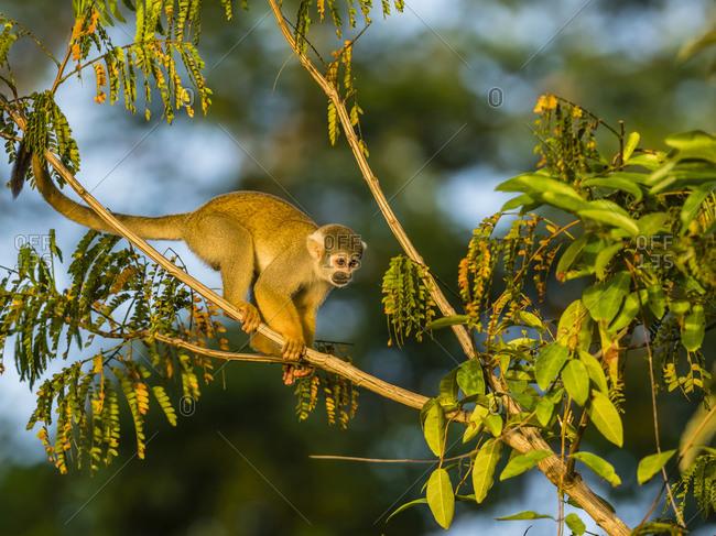 Adult common squirrel monkey (Saimiri sciureus), Lake Clavero, Amazon Basin, Loreto, Peru, South America