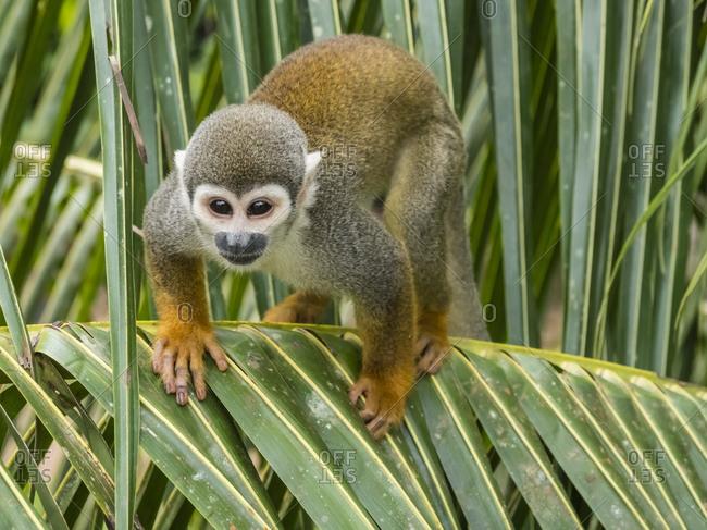 Adult common squirrel monkey (Saimiri sciureus), in San Francisco Village, Amazon Basin, Loreto, Peru, South America
