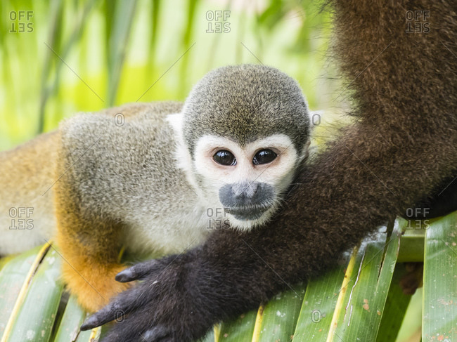 Adult common squirrel monkey (Saimiri sciureus), in San Francisco Village, Amazon Basin, Loreto, Peru, South America