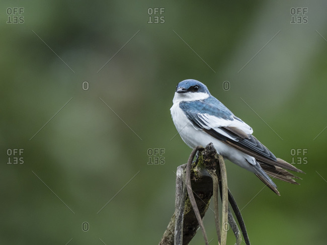 An adult white-winged swallow (Tachycineta albiventer), Belluda Creek, Ucayali River, Amazon River Basin, Peru, South America