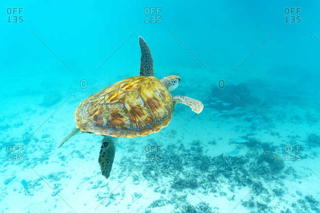Sea turtle floating underwater over coral reef, Mauritius, Indian Ocean, Africa