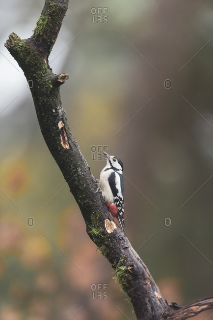 Great spotted woodpecker in a tree