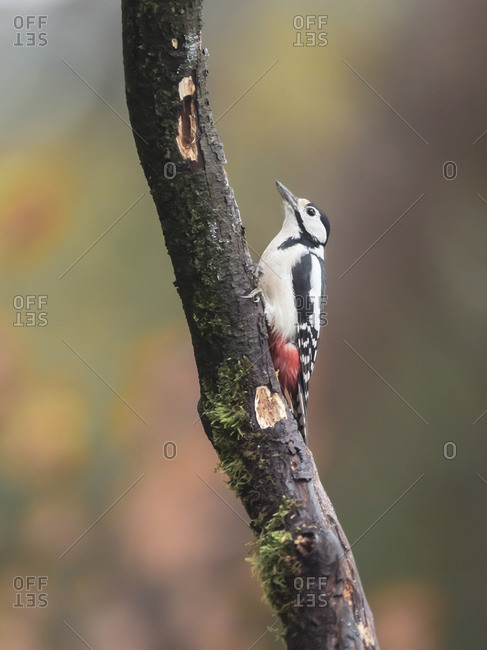 Close up of a great spotted woodpecker in a tree