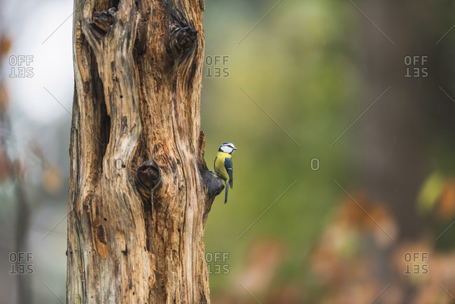 Great tit perched on a stub of a tree branch