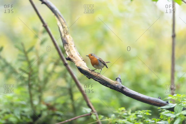 A robin red breast bird perched on a tree branch