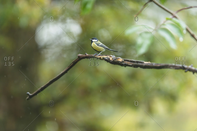 A great tit perched on a tree branch in the rain
