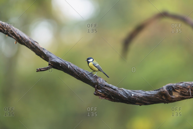 A great tit perched on a wet tree branch