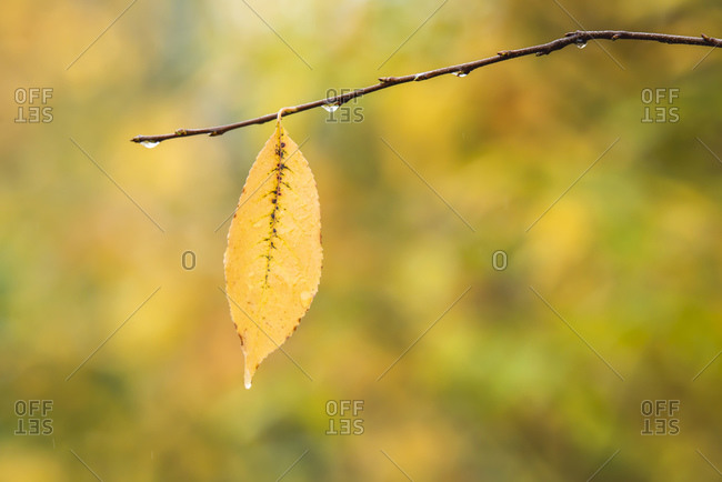 Close up of a single yellow leaf and raindrops on a tree branch