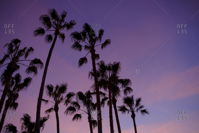 Silhouette of palm trees against purple sunset sky