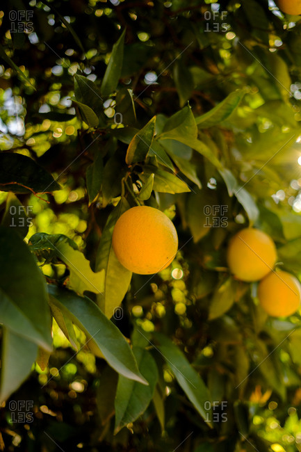 Close up of lemons growing on a tree