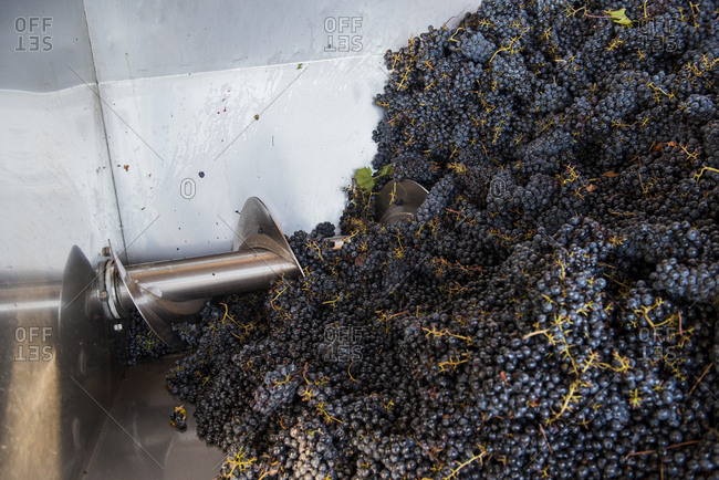 Grape harvest collected into a mechanical crusher - destemmer, Italy