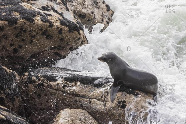 New Zealand- South Island- West Coast- Cape Foul wind- Tauranga Bay- New Zealand sea lion (Phocarctos hookeri) on rocks