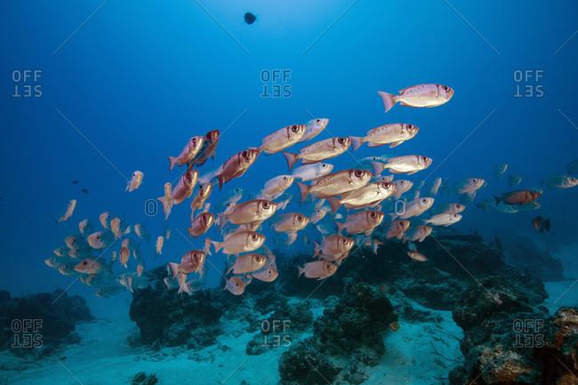 Palau- School of Big Eye fish in German Channel