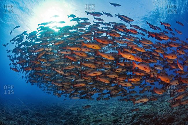 Palau- Shark City- Red snapper spawning
