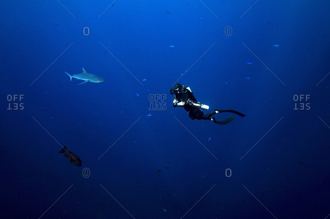 Palau- Blue Corner- Diver and grey reef shark (Carcharhinus amblyrhynchos) underwater