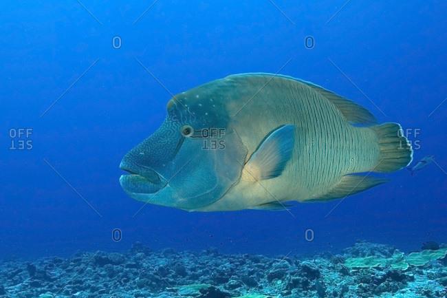 Palau- Blue Corner- Humphead wrasse (Cheilinus undulatus) underwater