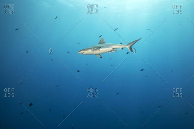 Palau- Blue Corner- Grey reef shark (Carcharhinus amblyrhynchos) swimming in sea