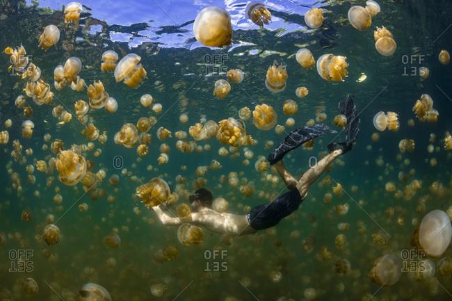 Palau- Eil Malk island- Man swimming with jellyfish in Jellyfish Lake