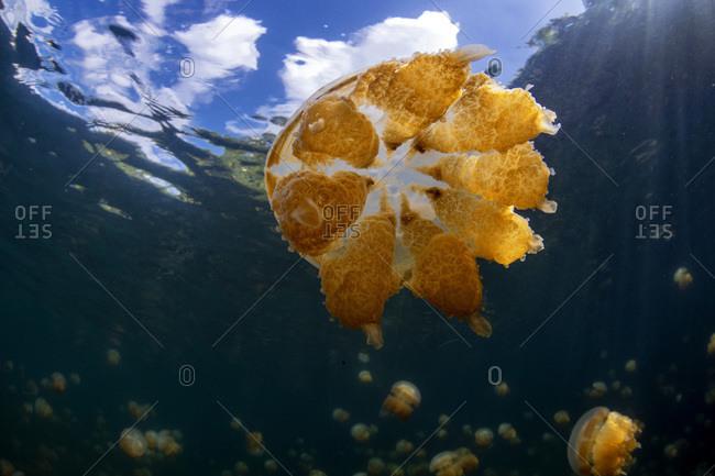 Palau- Eil Malk island- Jellyfish in Jellyfish Lake