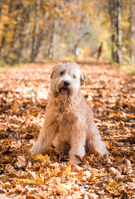 Fluffy wheaten terrier dog sitting on leaf covered path on fall day.
