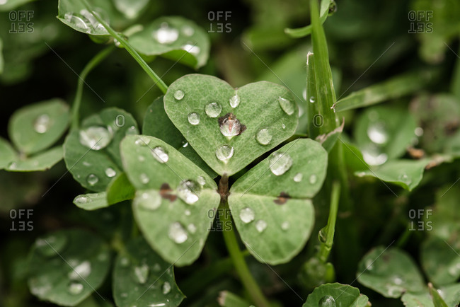 Close up view of heart shaped clover leaf with dew