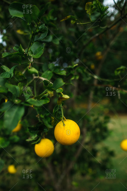 Citrus fruit hanging from a fruit tree