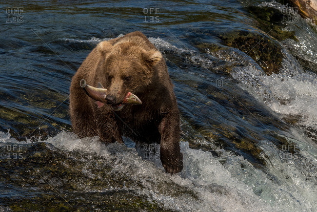 Brown bear catches salmon at katmai national park, alaska