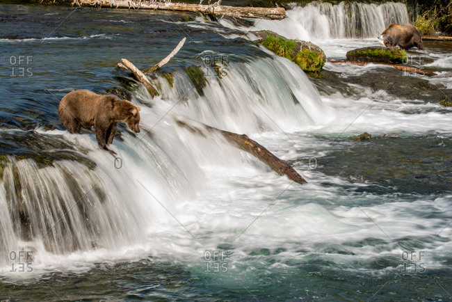 Brown bear waits for salmon atop motion blur waterfall, katmai, alaska