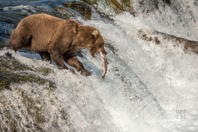 Brown bear catches salmon at waterfall, katmai national park, alaska
