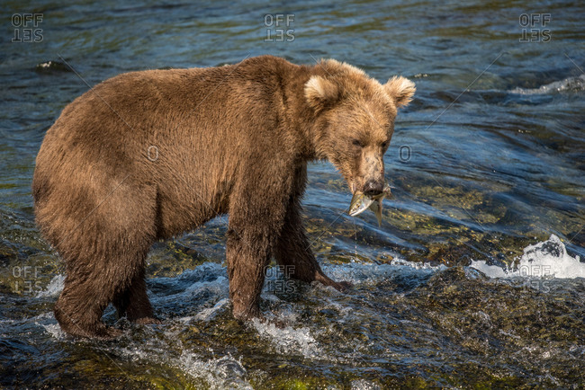 Brown bear catches salmon in river in katmai national park, alaska