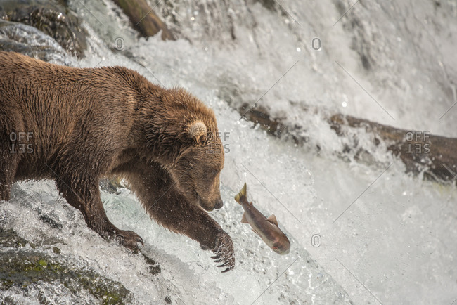 Brown bear attempts to catch salmon and shows claws at waterfall