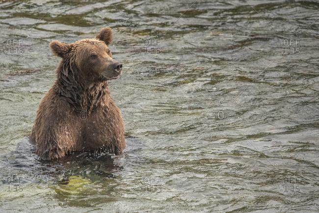 Brown bear sitting in water with salmon, katmai national park, alaska