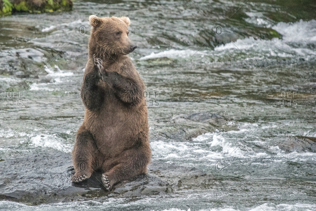 Brown bear sits on hind legs on rock in river, katmai alaska