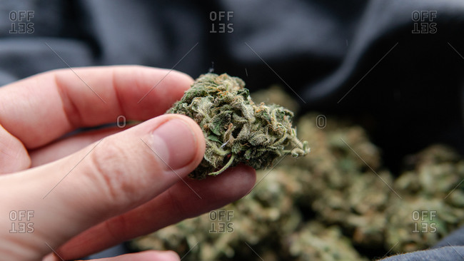 Quality control of marijuana buds for mold.