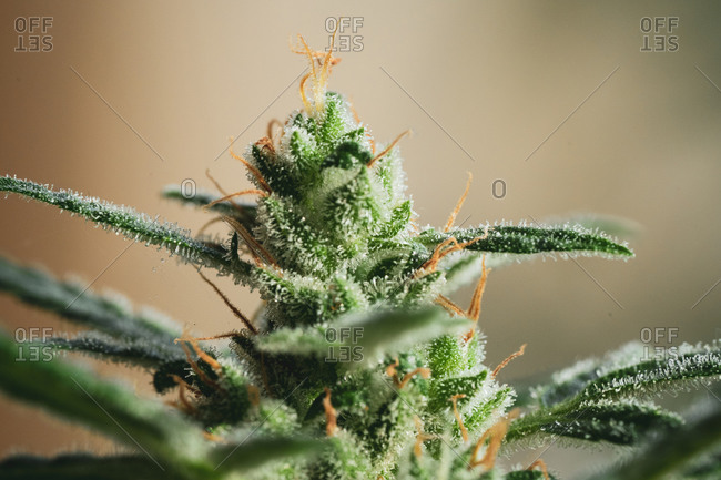 Sun drenched marijuana plant grows healthy buds