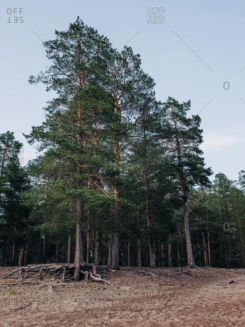 Tall trees lining a beach