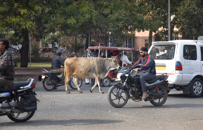 Jaipur, India - January 4, 2020: A cow on street in Jaipur, India