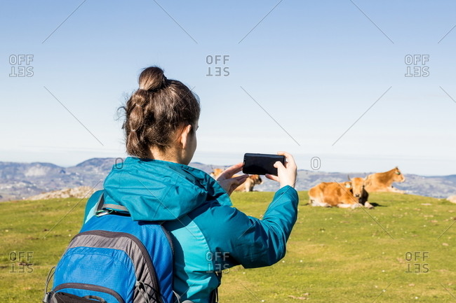 Back view of unrecognizable female trekker in active wear standing with trekking poles on green hill with mountains and blue sky on background with cows pasturing using mobile phone to take picture