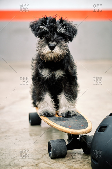 Funny adorable Yorkshire Terrier puppy sitting on skateboard next to helmet on concrete ground and looking at camera
