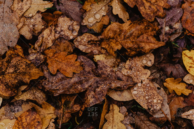 Closeup fallen leaves with droplets of water after rain in autumn forest on cloudy day