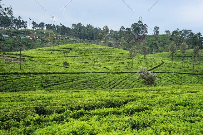 Scenic view of wonderful of green tea fields in Haputale in Sri Lanka