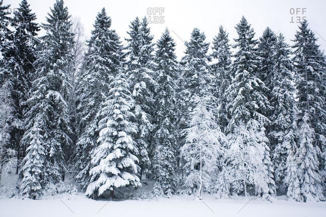 Winter forest landscape, Sweden