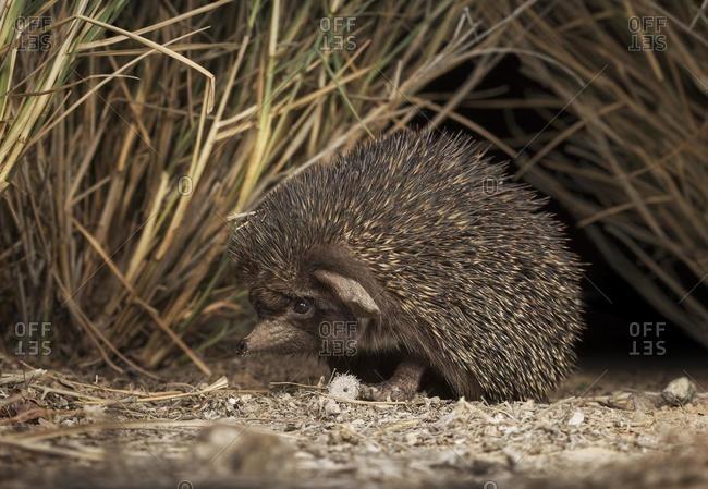 Close-up of a Desert hedgehog (Paraechinus aethiopicus), Sharjah, UAE