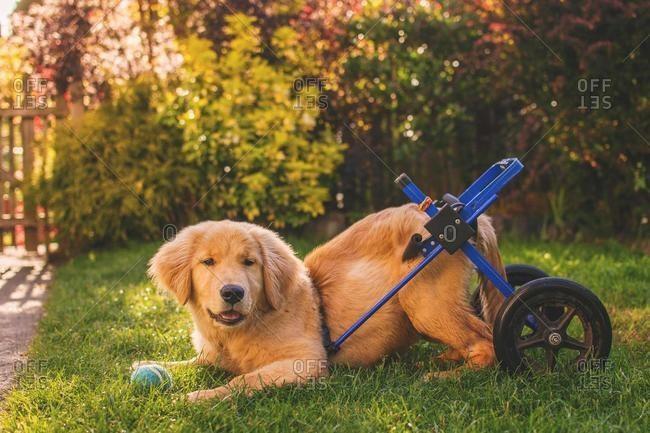 Disabled Golden retriever puppy lying down in a garden, USA