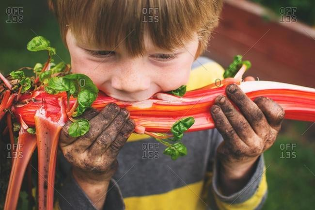 Boy with dirt on his hands eating freshly picked Swiss chard fresh from the vegetable garden, USA