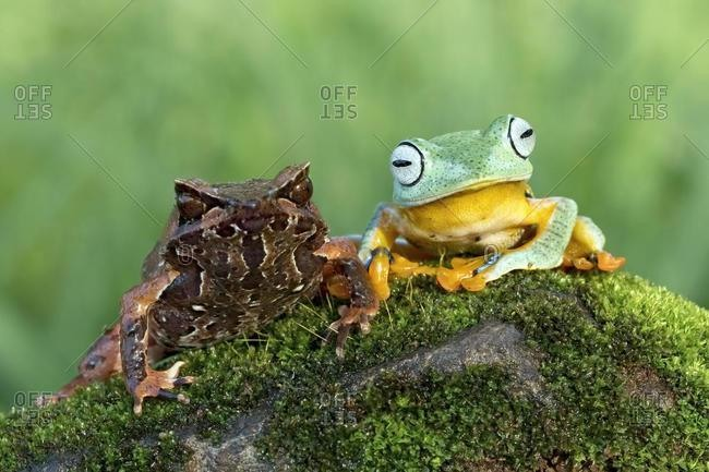 Horned frog and Javan Gliding Tree frog sitting on a moss covered rock, Indonesia